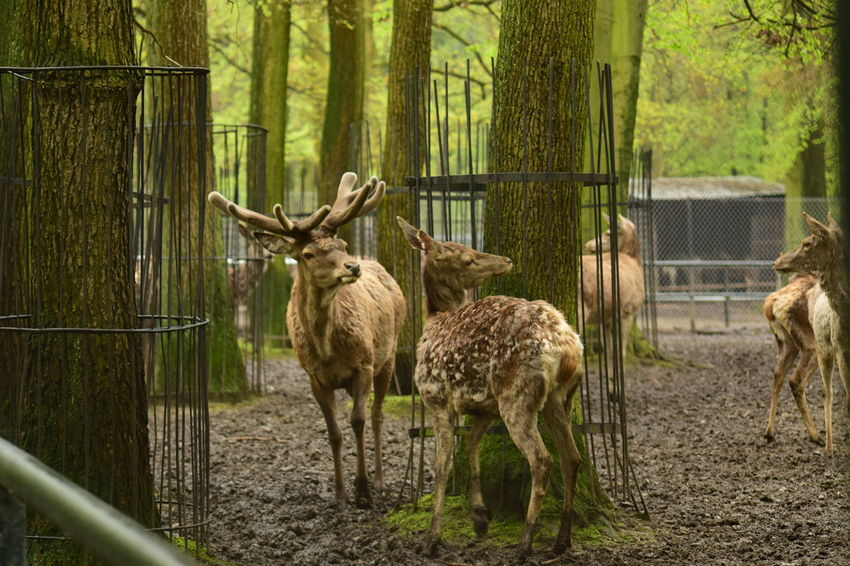 Alces Animal Grass Tree Zoo
