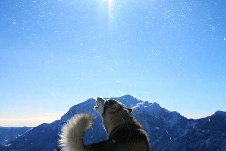Alaskan Malamute Howl Snow Mountains Alpe Di Giumello Lecco Italy