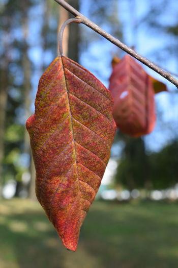 Close-up of autumnal leaf on tree