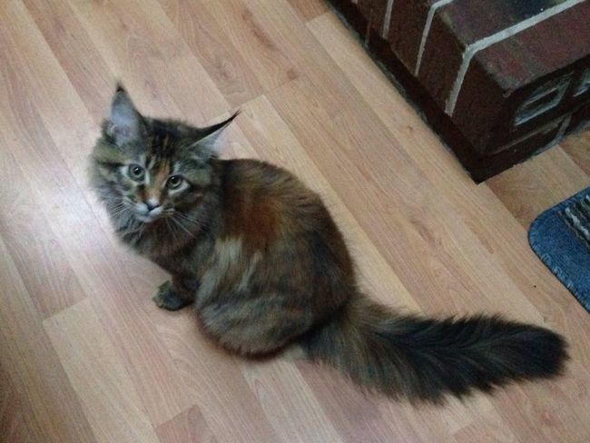 Lulabelle - our sweet Maine Coon Streamzoo Family streamzoo family My Fur Baby