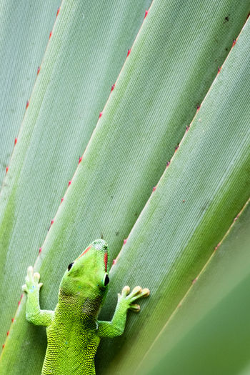 Green Gekko on green Kaktus Fresh On Eyeem  Gekko Kaktus The Week On EyeEm Zoo Animal Themes Banana Leaf Beauty In Nature Beauty In Nature Close-up Day Green Color Growth Leaf Nature No People One Animal Outdoors Plant Madagascar Day Gecko Pet Portraits Perspectives On Nature