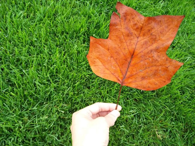 Autumn Leaf Nature Outdoors Close-up Beauty In Nature Growth Green Color Change Day No People Directly Above Grass Field Dry