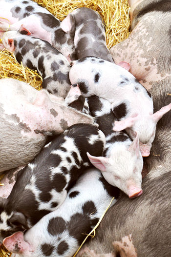 Close-up of piglets