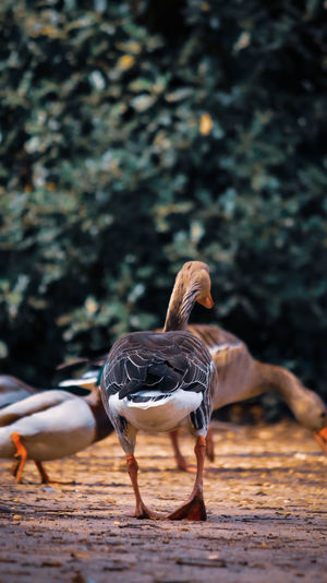 A photo of domestic bird in national park