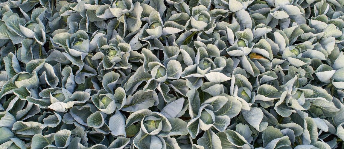 Cabbage field in the cabbage growing region schleswig holstein