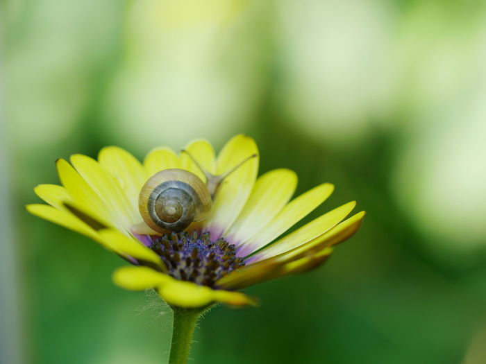 Animals Blurred Background Exceptional Photographs Flower Fragility Macro Nature No People Outdoors Snail Snailshell Animal Themes In Bloom Close-up Flower Head Flowers Animals In The Wild EyeEm Diversity Paint The Town Yellow