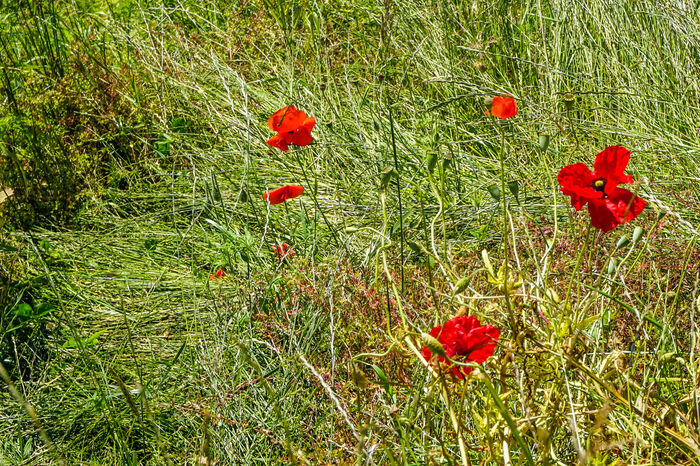 Flower Grass Hiking Trail Nature Nature Is Amazing Poppy Poppy Flowers Red