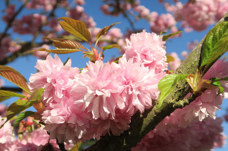 Blossom Cherry Blossom Flower Japanese  Kew Gardens London Petal Pink Pink Color Sakura Summer EyeEm Nature Lover EyeEmNewHere
