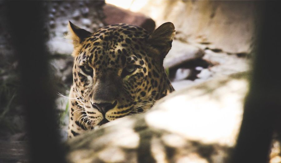 Be. Ready. Leopard One Animal Animals In The Wild Inspirational Canon Onepicture Live Looking Beautiful Nature Relax Thinking