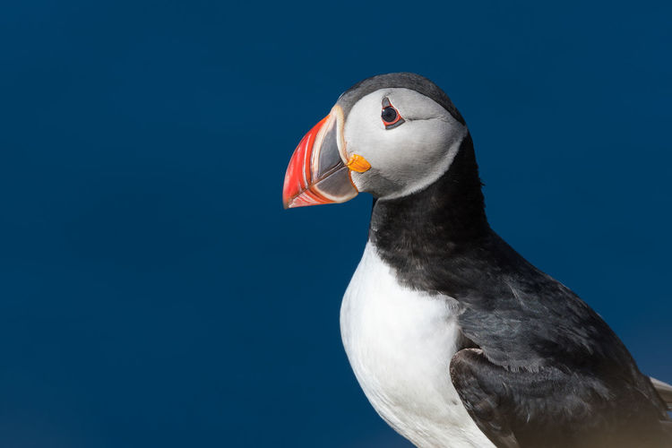 Puffin enjoys a beautiful day on the Langanes Peninsula in North Iceland Beak Bird Photography Funny Iceland Puffin Animal Wildlife Animals In The Wild Arctic Avian Beak Bird Bird Beak Birds Black Close Close Up Close-up Day Nature Ocean One Animal Ornithology  Outdoors Portrait Zoom