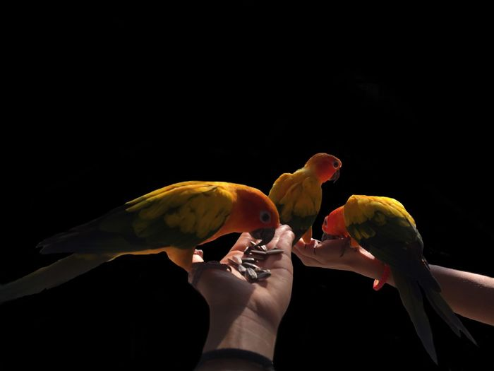 Cropped image of hands feeding parrots against black background