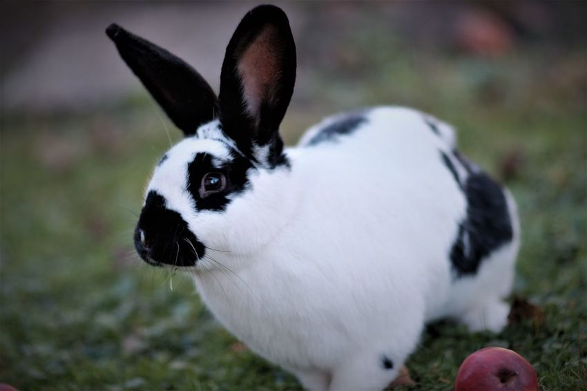 Beloved Tame Wild Rabbit Animal Themes Close-up Domestic Animals Focus On Foreground Nature No People One Animal Pets Portrait Rabbit White Color