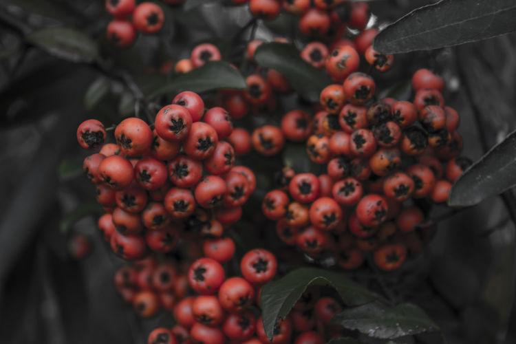 Close-Up Of Rowanberries On Tree