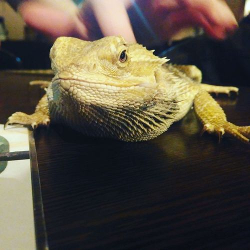 Agamabearded Beardedagama Agama Lizard Reptile Coffee Shop Zoo Cafe Animals