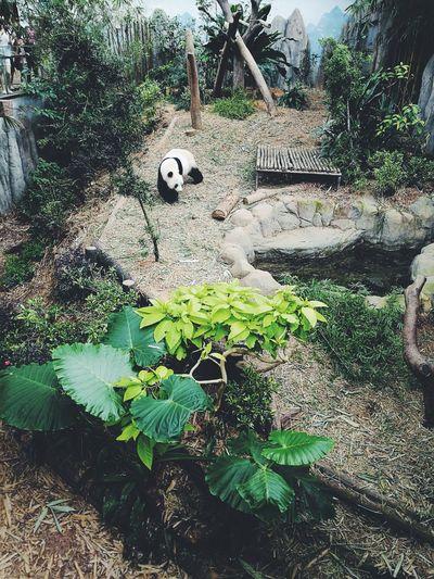 Panda at