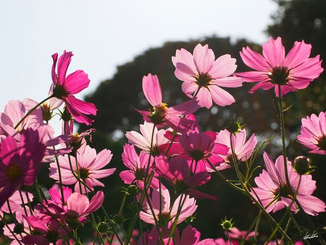 逆光×秋桜 E-PL3 Flower Cosmos 逆光部