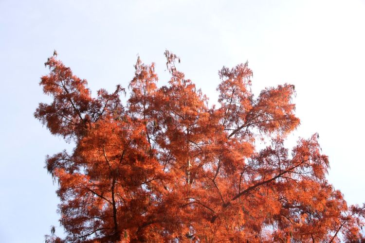 Larch Red Larch Needles Red Larch Tree Autumn Branch Red Sky Close-up Coniferous Tree Needle - Plant Part