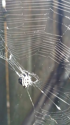 Spider Web Close-up Spider Nature Animal Themes Web Beauty In Nature EyeEm Best Shots EyeEm Gallery Popularphotos EyeEm Nature Lover Spiny Orb Weaver