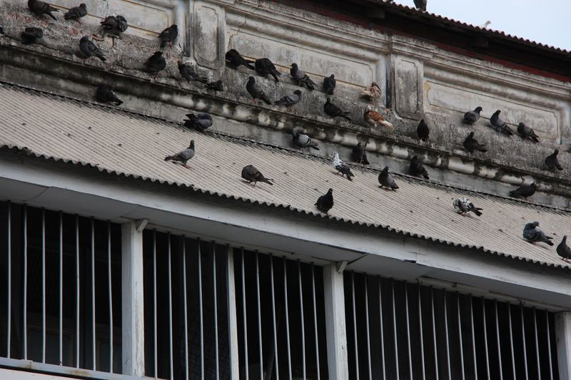 Pigeons Roof Lines Surface