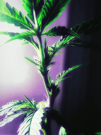 Marijuana Green Leaves Babyplants Colorsplash Closeup Naturesway Creative Light And Shadow
