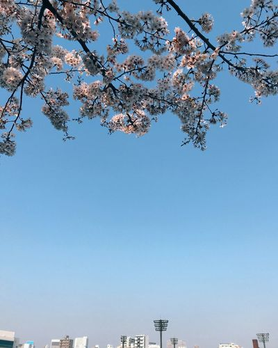 sakura Cherry Blossoms Sky Nature Clear Sky Tree Low Angle View Beauty In Nature Day Water Blue Plant No People