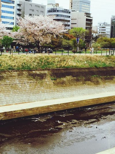 Sakura Leaves River Hello World