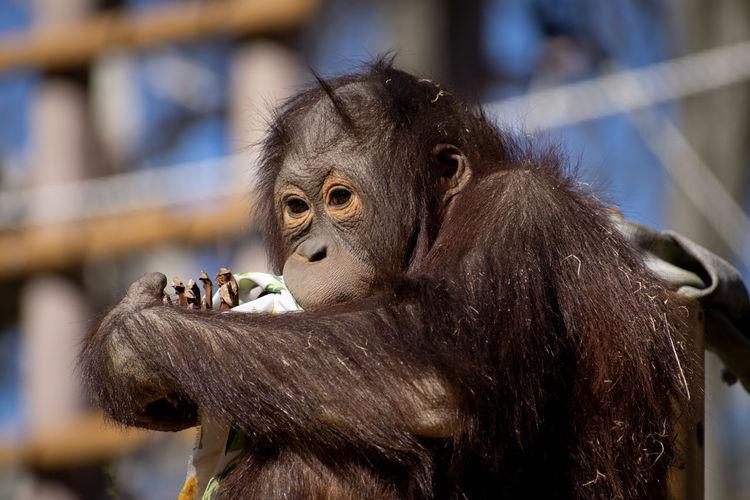 eyes Orang Utan Little Orang Utan Animal Animal Themes Representing Ape Close-up Zoo Monkey Orangutan