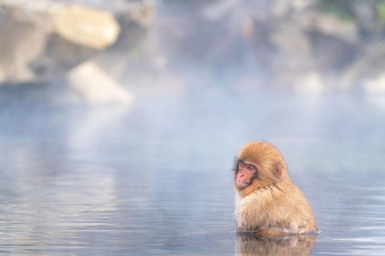 Monkey in a lake