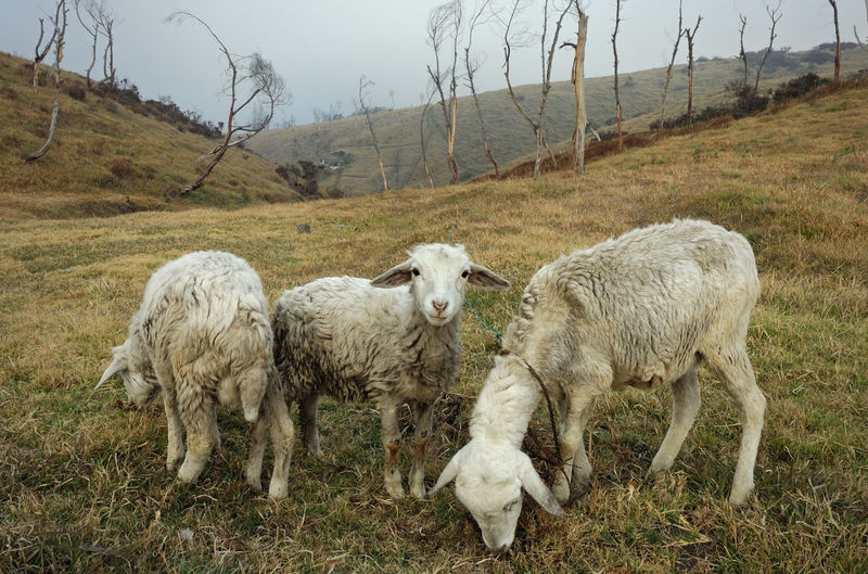 Sheep On Grassy Hill Against Sky