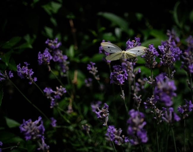 Kohlweißling an Lavendel Blackberry Old Lenses Pentax 28mm 2,8 FUJIFILM X-T2 Fowering Plant Flower Plant Fragility Beauty In Nature Growth Nature Vulnerability  Animal Wildlife One Animal