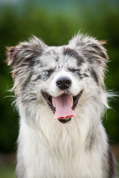 Blue Merle Border Collie FUNNY ANIMALS High As A Kite☁ Animal Animal Head  Animal Mouth Animal Themes Animal Tongue Blue Merle Dogs Border Collie Bordercollie  Canine Closed Eyes Dog Expression Facial Expression Funny Faces High As A Kite Mouth Mouth Open No People One Animal Panting Pets 50 Ways Of Seeing: Gratitude