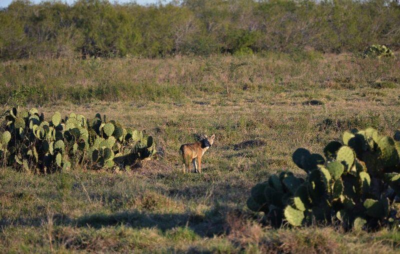 Coyote Wildlife