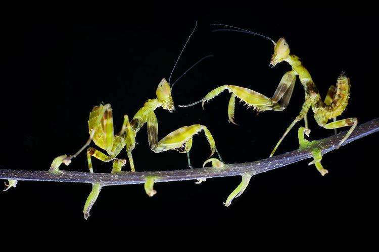 mantis Black
