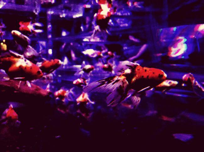 アートアクアリウム Aquarium Artaquarium 金魚 きんぎょ Osaka,Japan Japan Night Fish