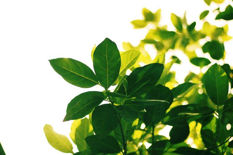 Leaf Herb