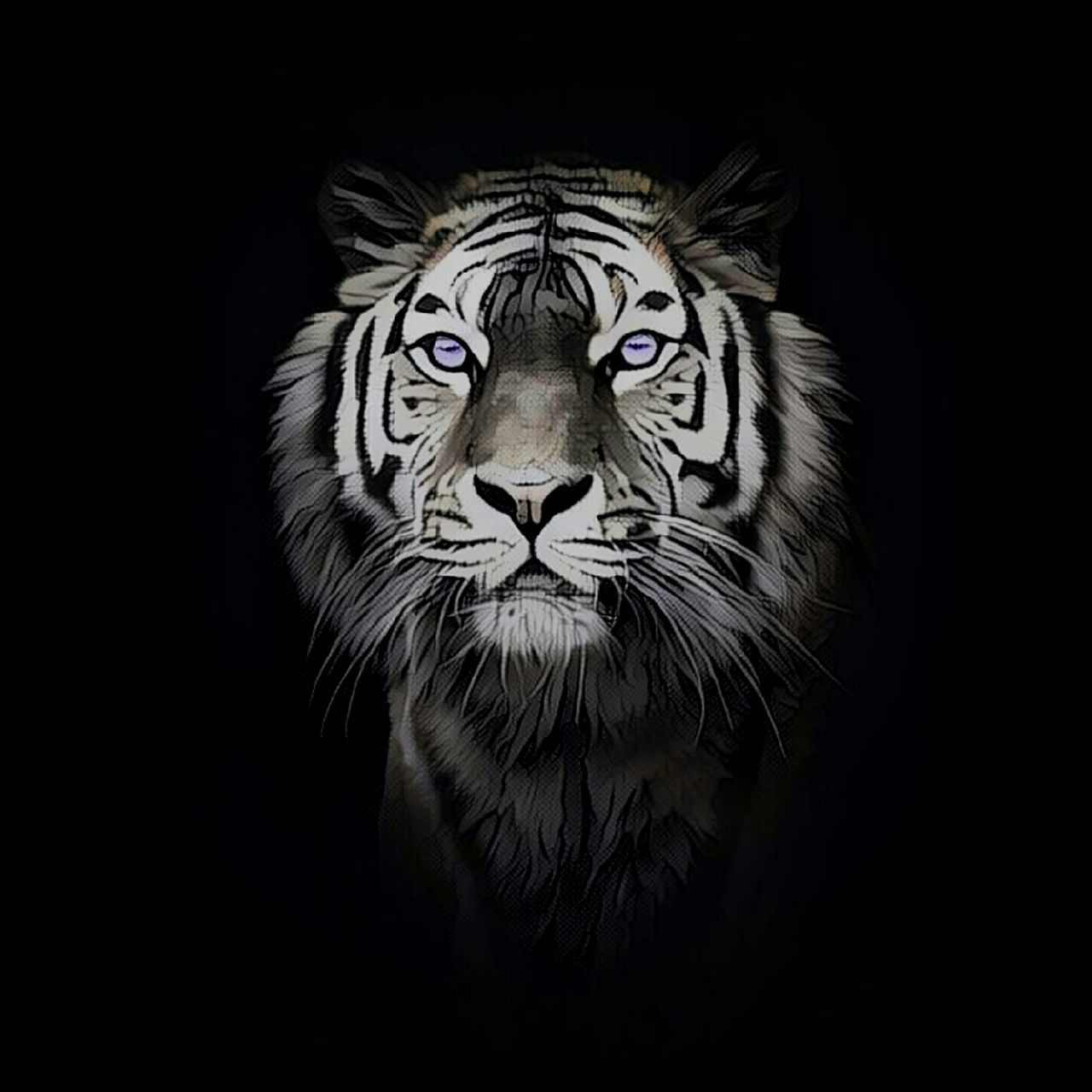 black background, tiger, one animal, looking at camera, animal wildlife, portrait, no people, animals in the wild, animal themes, close-up, nature, mammal, day