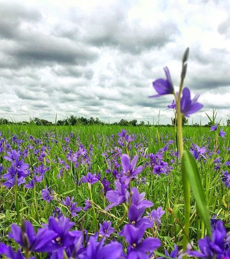 flowers and cloudy sky Beauty In Nature Low Angle View Plant Outdoors Freshness Nature Growth Flower Petal Growth Beauty In Nature Purple Nature Field Fragility Freshness Plant Cloud - Sky Sky Flower Head Day Blooming Crocus No People Springtime Tranquility