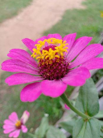 Flower Head Zinnia  Flower Eastern Purple Coneflower Pink Color Springtime Petal Summer Pollen Uncultivated