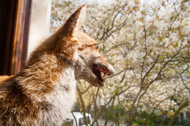 Fox looking through window