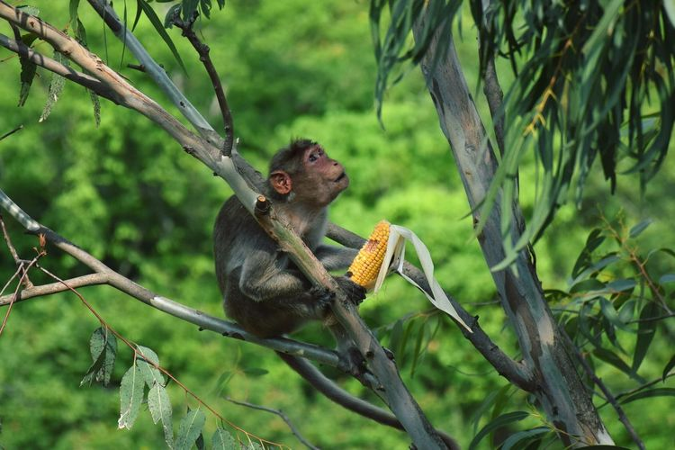I am not giving you my corn. One Animal Tree Nature Branch Monkey Mammal Animal Themes Bangalore India Nature Photography Corn Eating