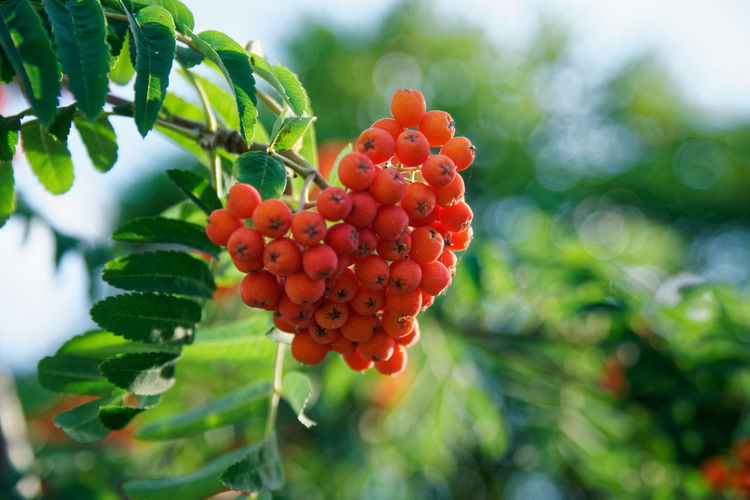 Guelder rose Nature Nature Photography Beauty In Nature Berry Fruit Blured Blured Motion Close-up Day Defocused Defocused Background Focus On Foreground Food Food And Drink Freshness Fruit Green Color Growth Guelder Rose Healthy Eating Leaf Nature Nature_collection Naturelovers No People Outdoors Plant Plant Part Red Ripe Rowanberry Tree Viburnum Viburnum Plicatum Viburnum Thinus Flowers Viburnum Tinus