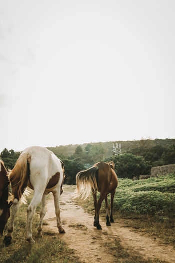 Horses standing in ranch against clear sky