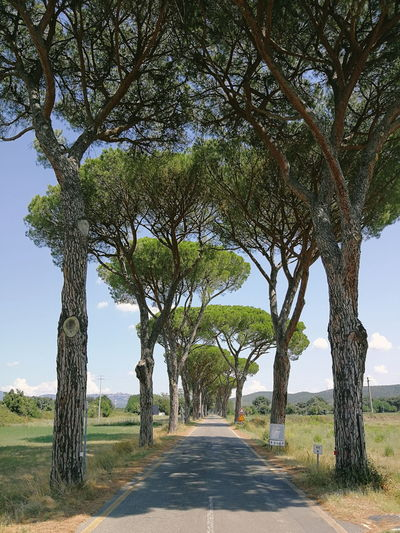 Tuscany pine trees Pine Tree Tree Road Rural Scene Sky Landscape Woods Treelined Empty Road Bare Tree