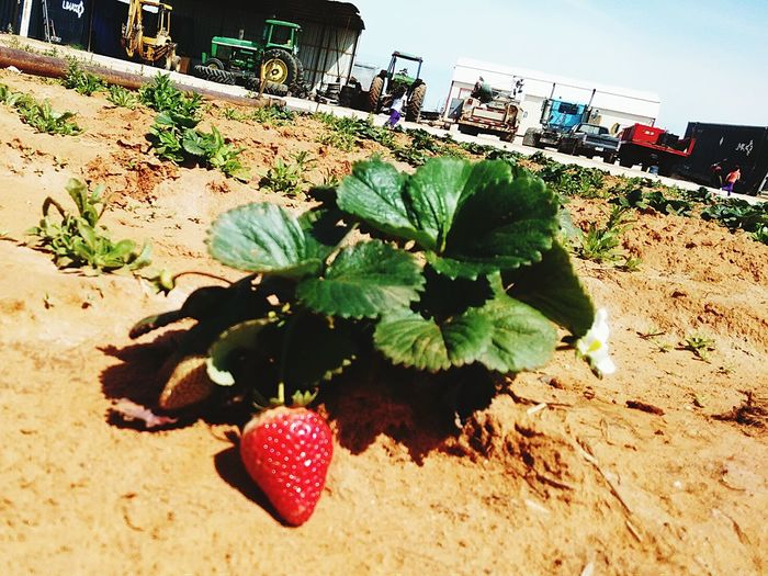 Poteet strawberries, Yum! Ranch Life Strawberries As Fresh As It Gets Eye4photography  Yummy Check This Out EyeEm Nature Lover Tractors Tasty