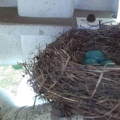 Bird Birds Babies Babybirds Life Nature Beauty Lifephotography Naturephotography Robin Robineggs Spring Springlife