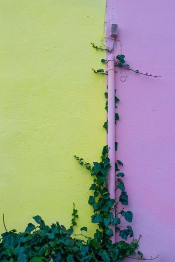 Yellow, pink and green Detail Strongness Caracteristic Place Sardinia Streetphotography Colors Colorful Wall Pink Yellow Calm Green Grassland Young Plant