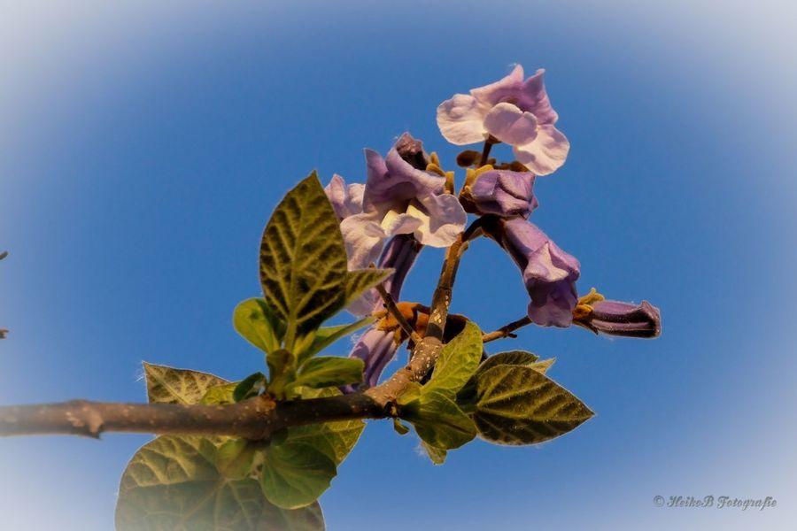 Blauglockenbaum Heikobo Blüte 2015  Blauglockenbaum