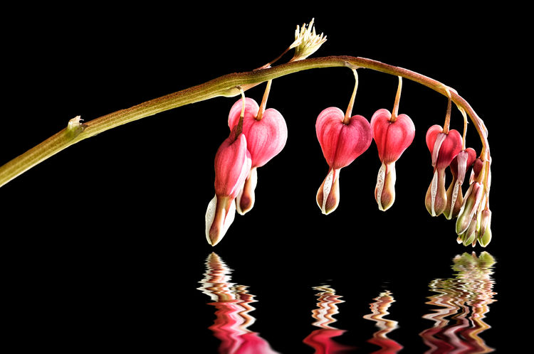 Black Bleeding Heart Flowers Bleeding Hearts Blossoms  Dew Floating On Water Flowers Red Water Water Reflections Maximum Closeness