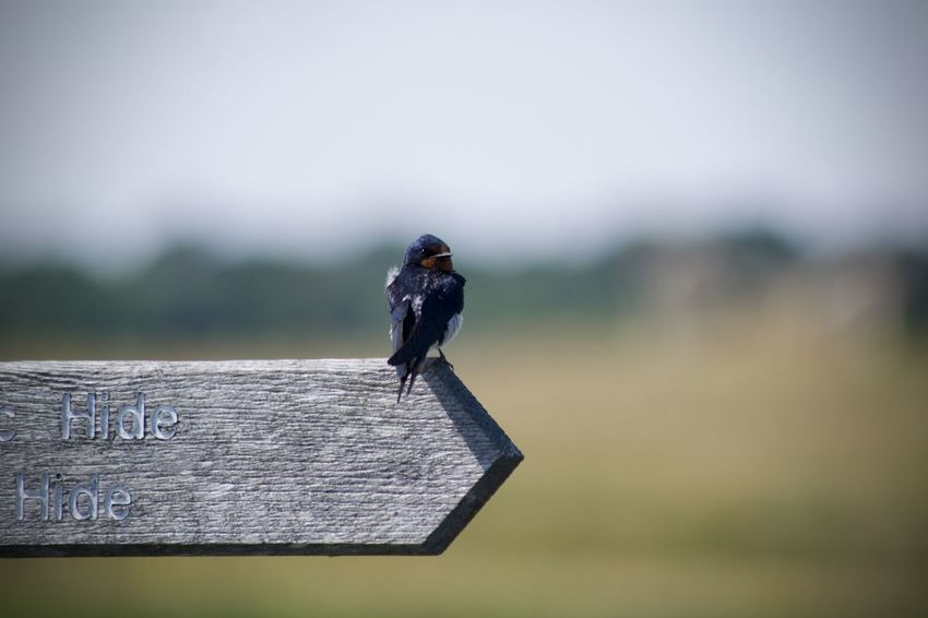 Beginner Nikon Animal Animal Themes Animal Wildlife Animals In The Wild At The Edge Of Bird Black Color Close-up Copy Space Day Focus On Foreground Full Length Grass Nature No People One Animal Outdoors Perching Selective Focus Small Swallow Vertebrate Wood - Material