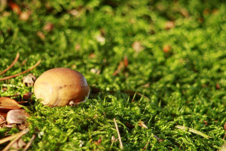 Mossporn Acorn